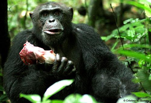 性交��.�9l����[��_野生黑猩猩存在肉食性交易 是长期合作关系(图)