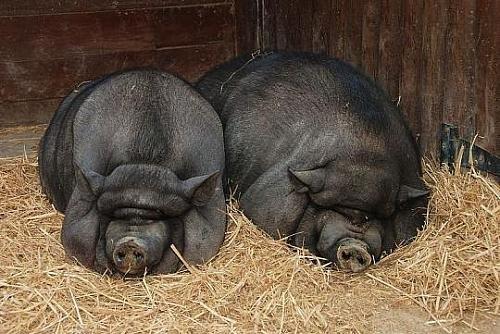 壁纸 动物 犀牛 野生动物 猪 500_334