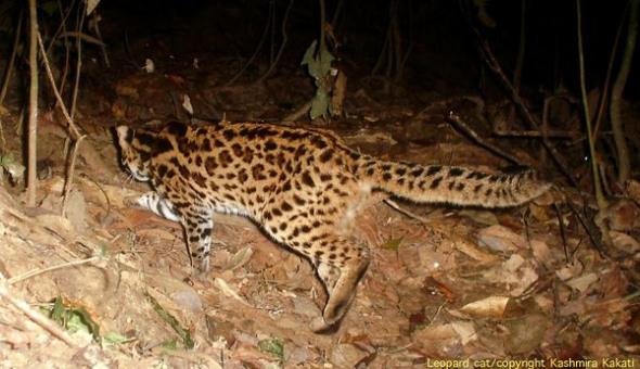 据国际自然保护联盟介绍,豹猫的活动足迹遍布整个亚洲.
