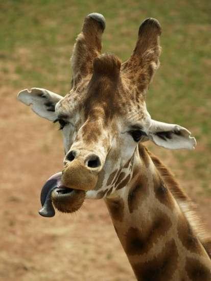 摄影师拍动物搞怪镜头:长颈鹿吐舌头(组图)(上)