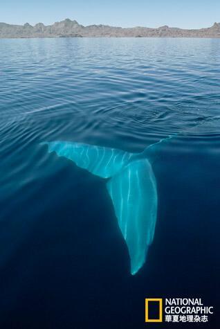 鲸鱼的尾印出现在圆突区——这个冬季的天堂,表明蓝鲸也许终将战胜
