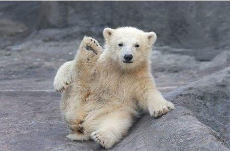 极地萌物技艺多:可爱北极熊宝宝冰上练瑜伽(图)