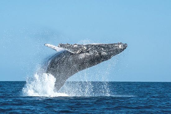 金侨驹�(_圣玛丽岛观座头鲸之旅 飞一般的感觉
