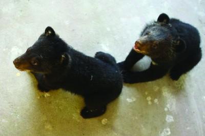 近日,合肥野生动物园里,两只黑熊宝宝第一次离开黑乎乎的产房和