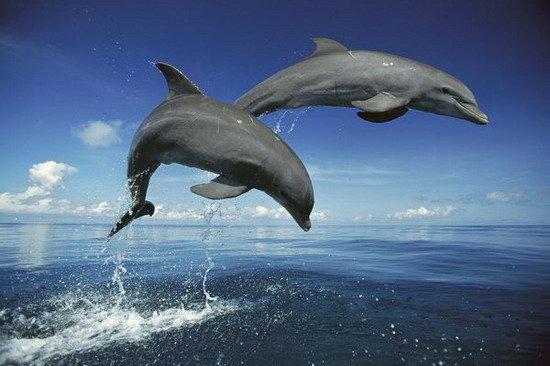 科学家最新研究显示,宽吻海豚具有动物王国中最持久的记忆,可记得二十