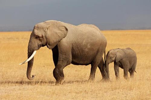 大象,长颈鹿等大型动物面临着更大的生存威胁.