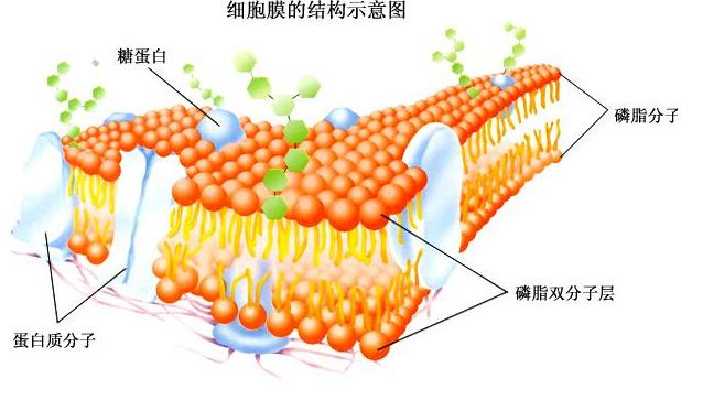 生物的进化教案|高一生物教案:细胞膜的结构示意图