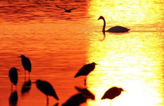 [日照生紫烟]山东日照:生态改善引来天鹅群越冬