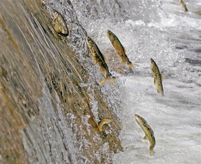 【青海湖】青海湖:封湖育鱼12年,裸鲤增加17倍