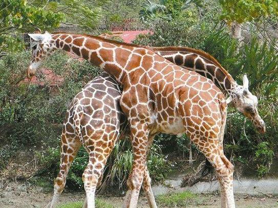 [疯狂动物园外星长颈鹿怎么抓]台湾动物园长颈鹿打架:互甩脖子当武器