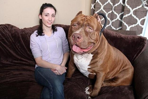 [英国斗牛犬体重]世界最大斗牛犬体重近80公斤 站立达1人高