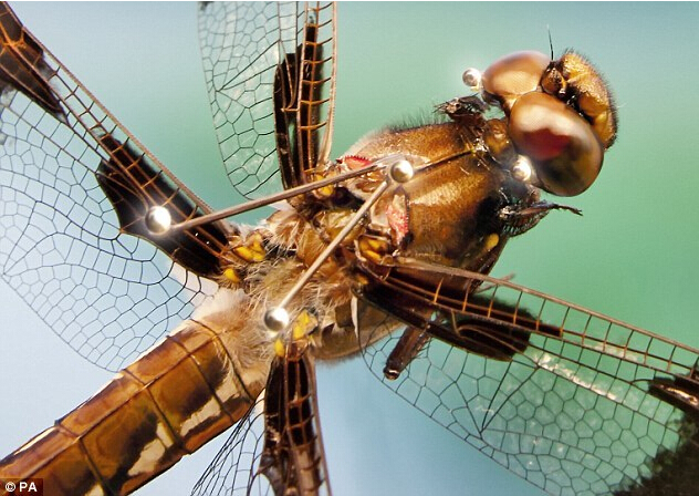 【我发现了蜻蜓的秘密】最新研究发现蜻蜓为地球上最致命猎手