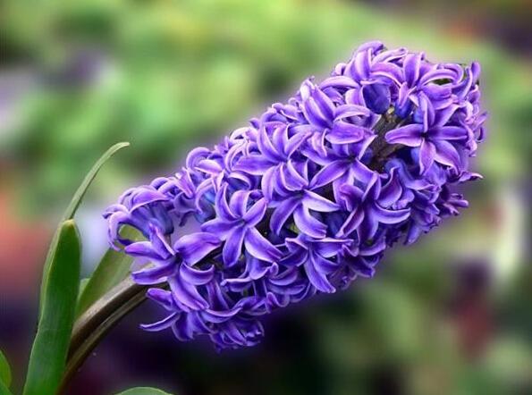 【紫色风信子花语】紫色风信子