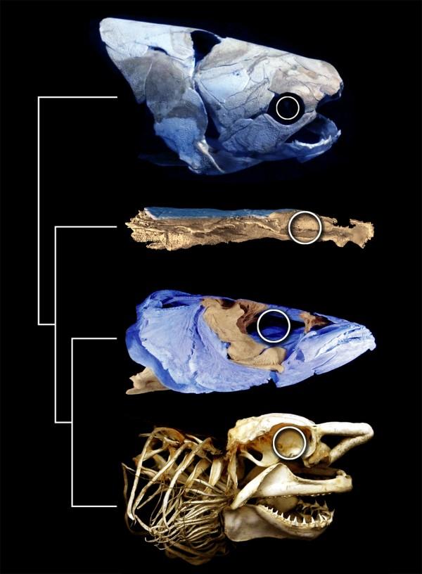 西伯利亚森林猫_西伯利亚发现早泥盆世鱼类化石