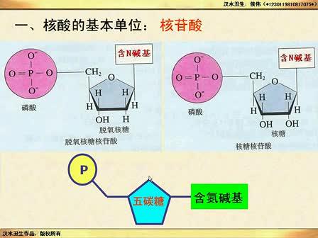 (汉水丑生一轮复习)DNA的结构和复制_标清