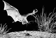 科学家发现蝙蝠叫声秘密
