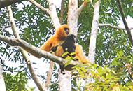 世界最孤独的长臂猿仅剩27只