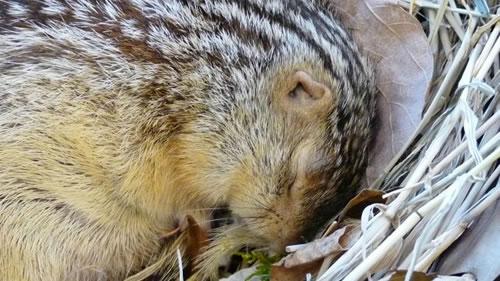 为了比较冬眠动物和不冬眠动物的生物学特性,研究人员对地松鼠