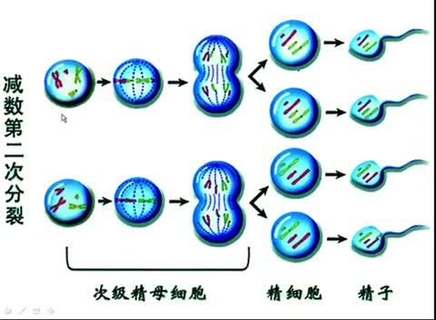 人教版 高一生物必修二 卵细胞形成过程