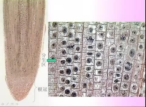 人教版 高一生物必修一 第6章 第1节:细胞增殖(二)-名师示范课