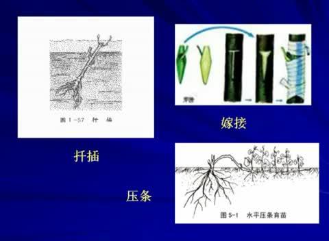 人教版 高二生物选修一 3.1 菊花的组织培养-名师示范课