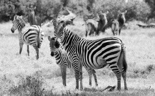 非洲植食动物食量惊人