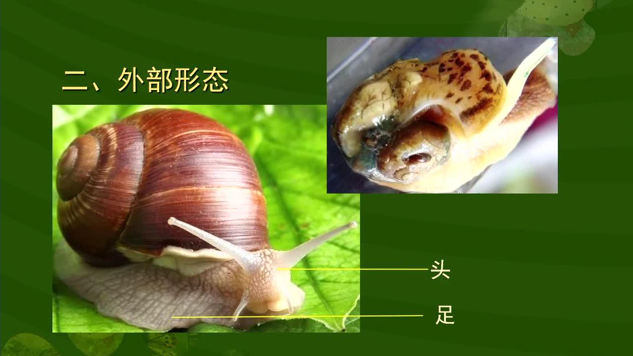 【名校名师微课】八年级上生物(人教版)核心知识名师讲解视频:蜗牛