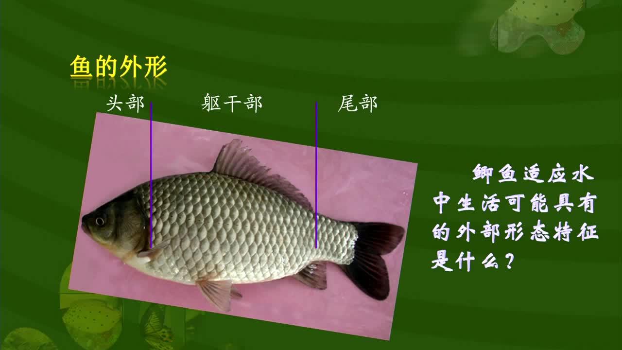 【名校名师微课】八年级上生物(人教版)核心知识名师讲解视频:鱼适应水生生活的主要特征