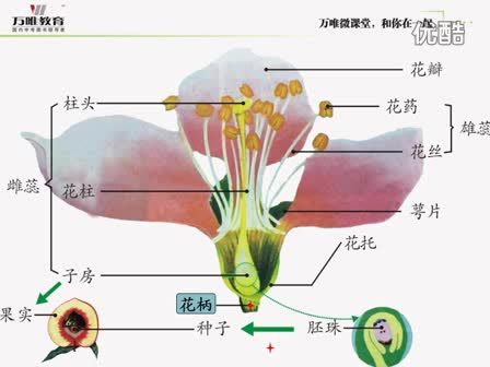 人教版 七年级生物—识图微课·桃花的基本结构-微课堂