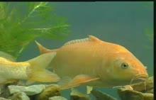 人教版 八年级生物下册 生物的变异 转基因生物--鱼-实验演示