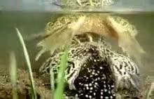 生物八年级下册人教版第7单元第1章第3节 青蛙的繁殖(流畅)-视频素材