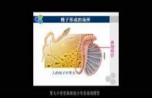 人教版生物必修二 第二章 第1节 精子的形成过程-微课