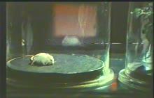 人教版 七年级生物上册 普利斯特利-实验演示