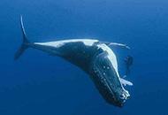 蓝鲸心脏已达生理学极限