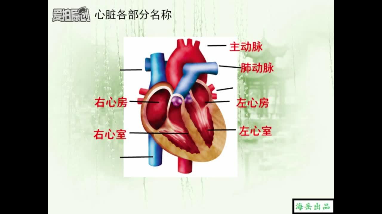 冀教版 七年級生物下冊:運輸物質的器官-心臟-視頻微課堂