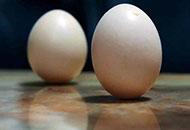 """今日秋分宜竖蛋 鸡蛋""""立""""起来是啥原理?"""