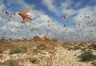 综述:蝗灾肆虐多国  非洲之角最重