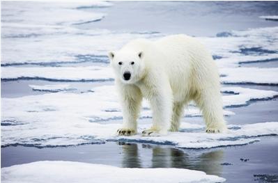 北极海冰减少 影响的不仅仅是北极熊的家