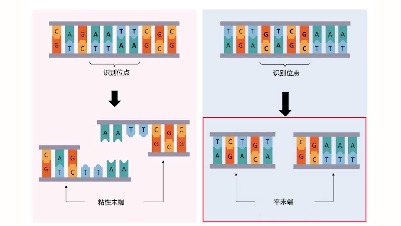 6.2 限制酶与DNA连接酶 视频-【火花学院】人教版必修二高一生物