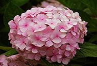 一日三变!花朵为什么会变色?