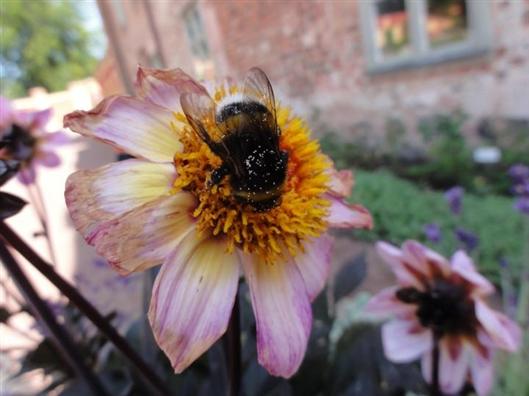 大蜜蜂能找到最好的花