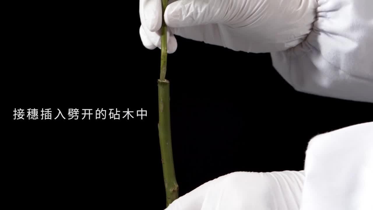 7.1.1 植物的嫁接-【火花学院】人教版八年级生物下册 生物圈中生命的延续 第七单元 生物圈中生命的延续和发展 第一章 植物的生殖和发育 第一节 植物的生殖 [来自e网通客户端]