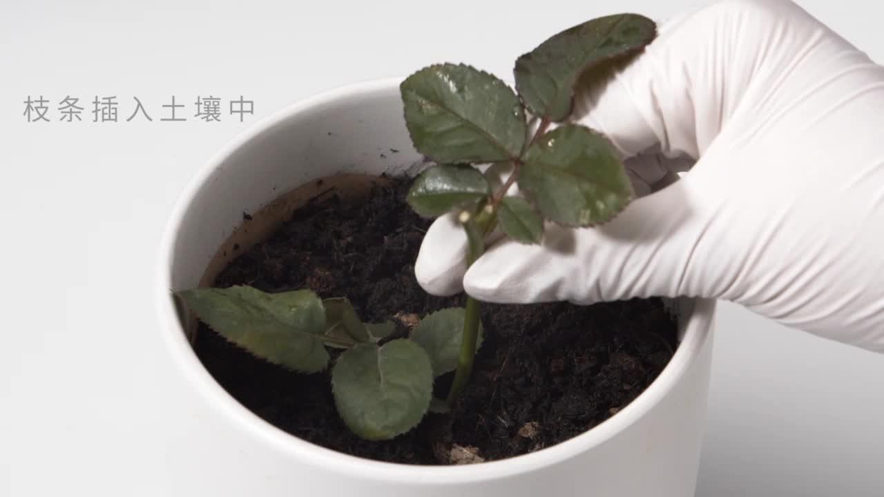 7.1.1 植物的扦插-【火花学院】人教版八年级生物下册 生物圈中生命的延续 第七单元 生物圈中生命的延续和发展 第一章 植物的生殖和发育 第一节 植物的生殖 [来自e网通客户端]