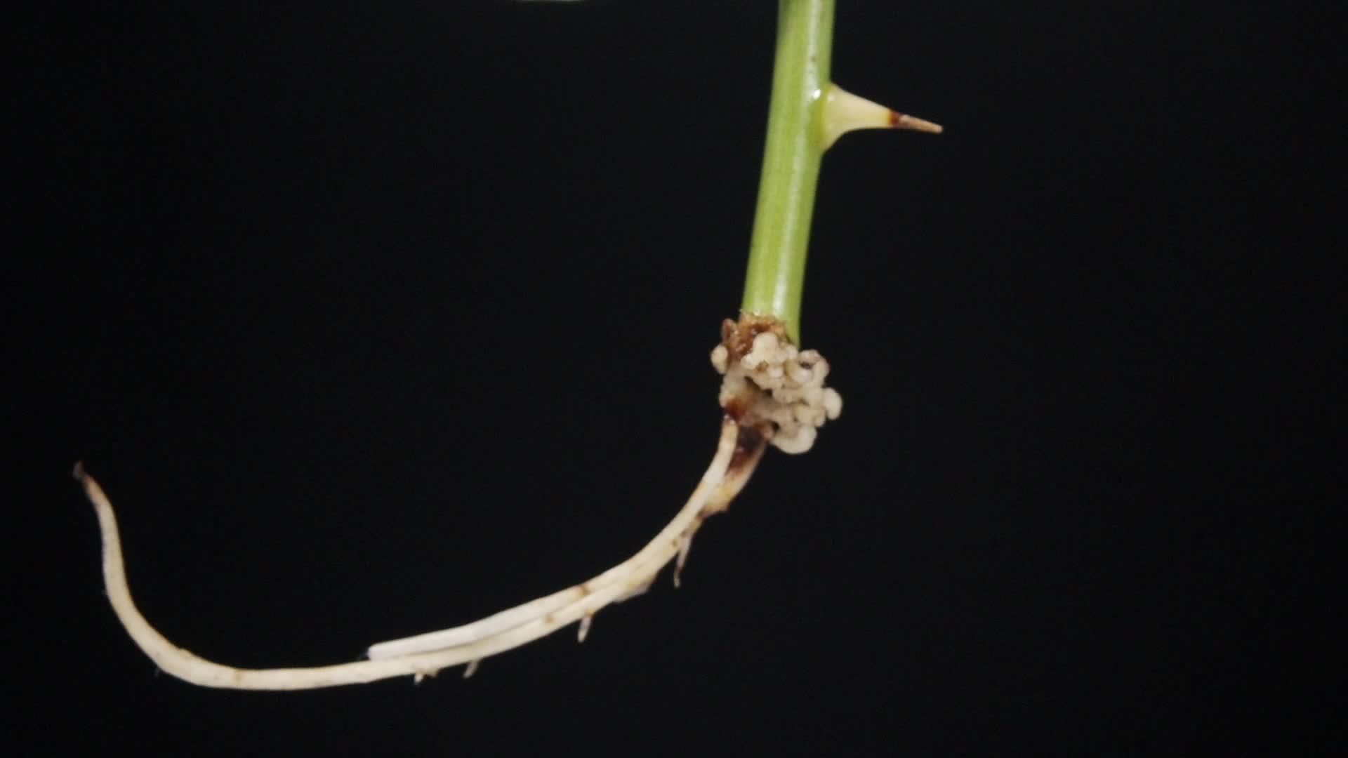 【限时折扣】7.1.1 植物的扦插-水培-【火花学院】人教版八年级生物下册 第七单元 生物圈中生命的延续和发展 第一章 生物的生殖和发育 第一节 植物的生殖 [来自e网通客户端]